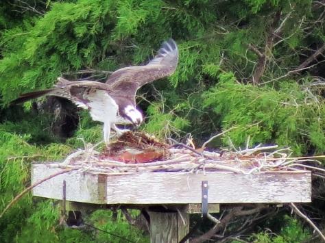mama osprey preparing the nursery