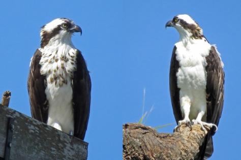Mama and Papa osprey
