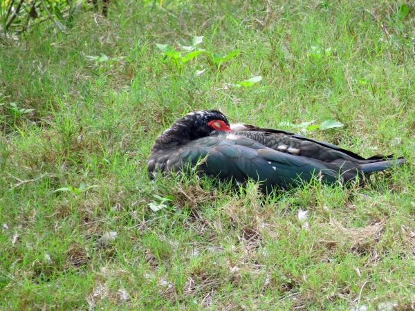 muscovy duck sleeping on new year