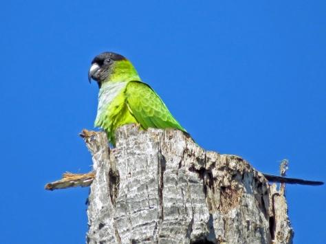 Nanday parakeet 2