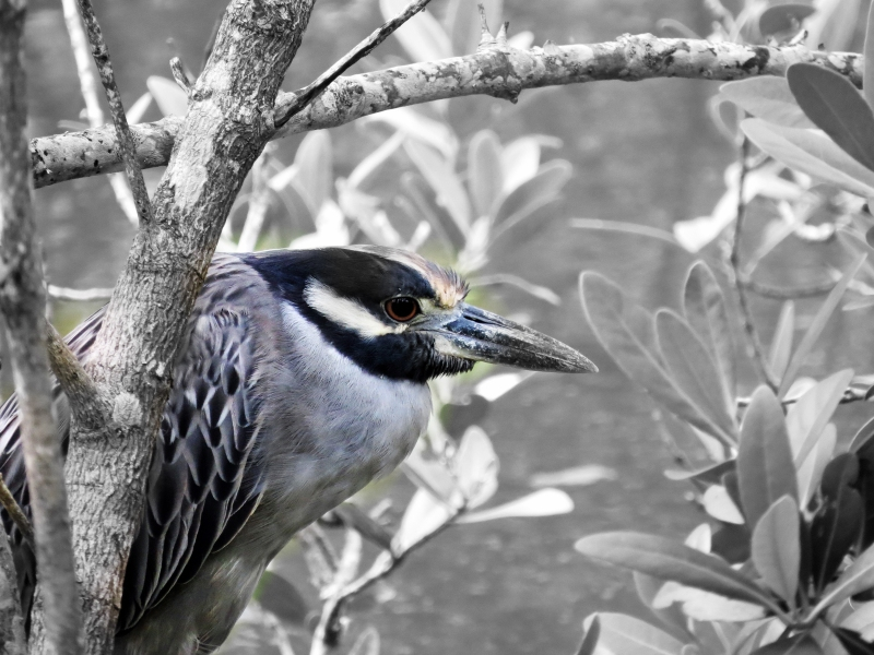 night heron hoc