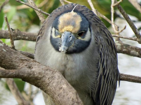 night heron sleeping one eye open on new year