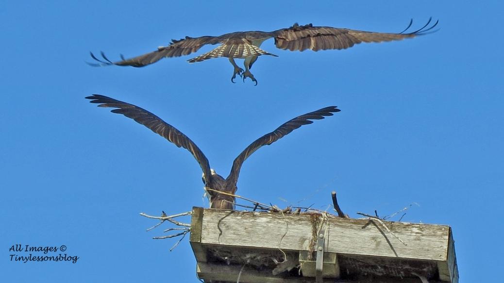osprey landing in the nest