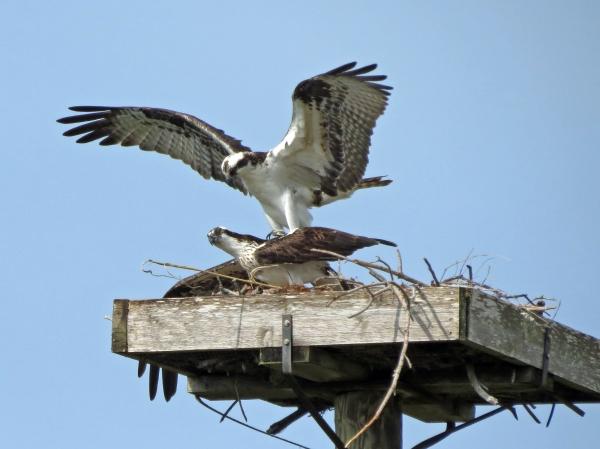 osprey romantics