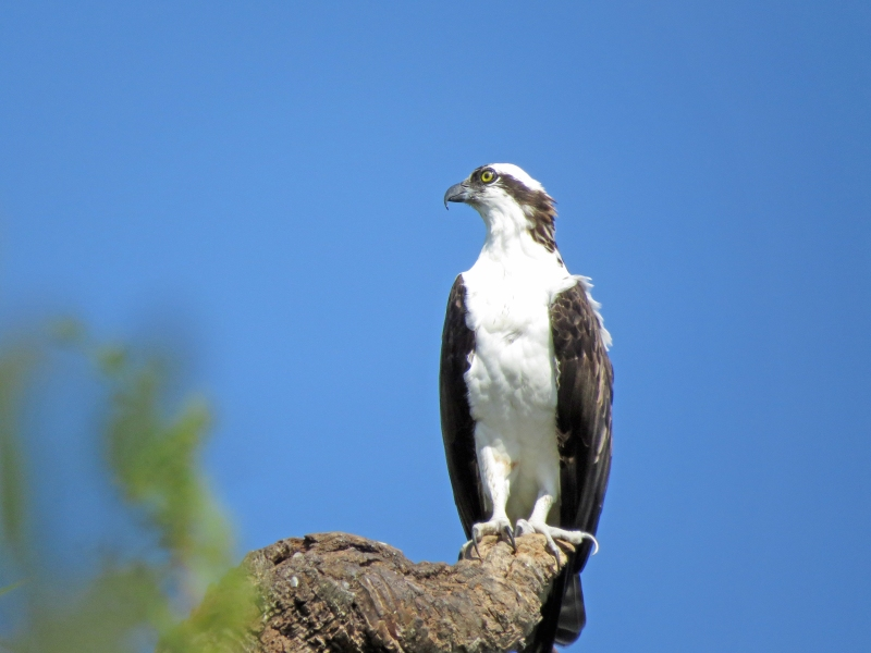 osprey  looks at another osprey flying
