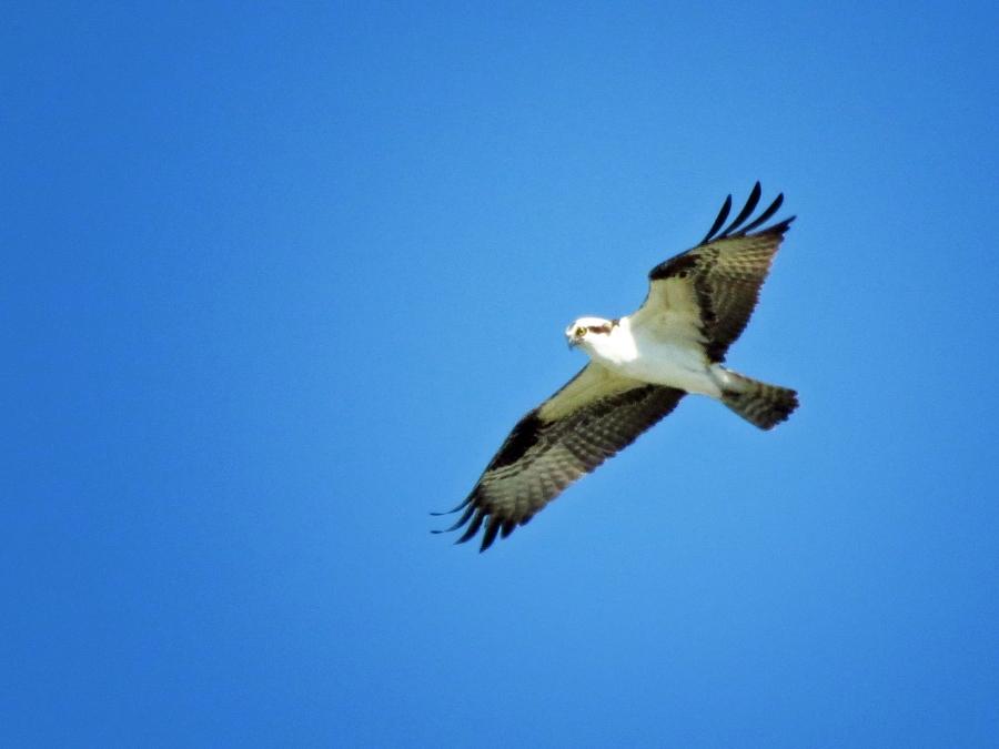 osprey flies by the nest