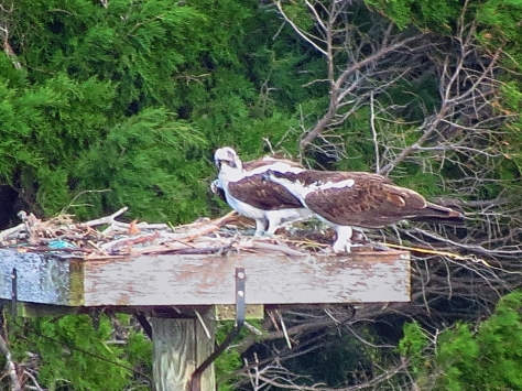 Papa and mama osprey together in the nest
