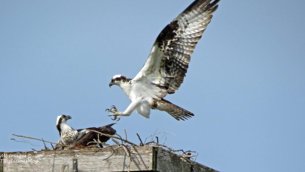 papa osprey arrives into the nest 16x9