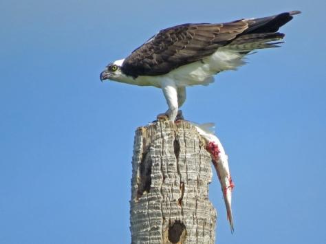 osprey eating fish