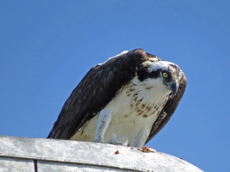 Papa osprey eating discovering the dogs 1