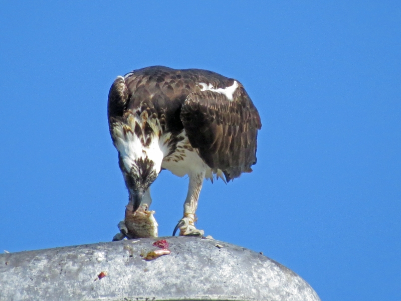 papa osprey eating on a lamp post