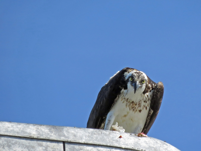 papa osprey eating on lamp post