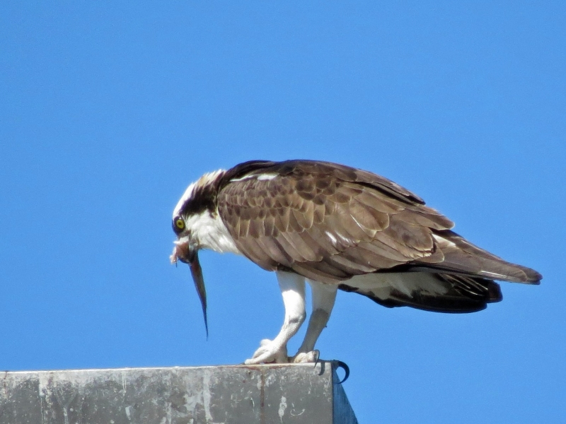 osprey finishing his fish