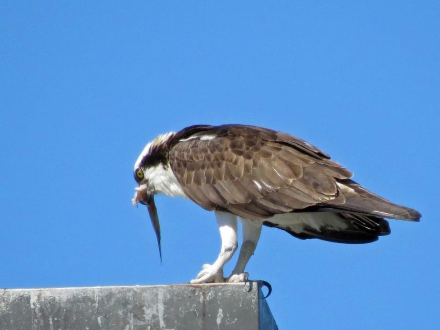 osprey finishing his fish