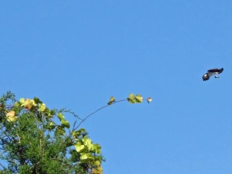 papa osprey flies away with the fish