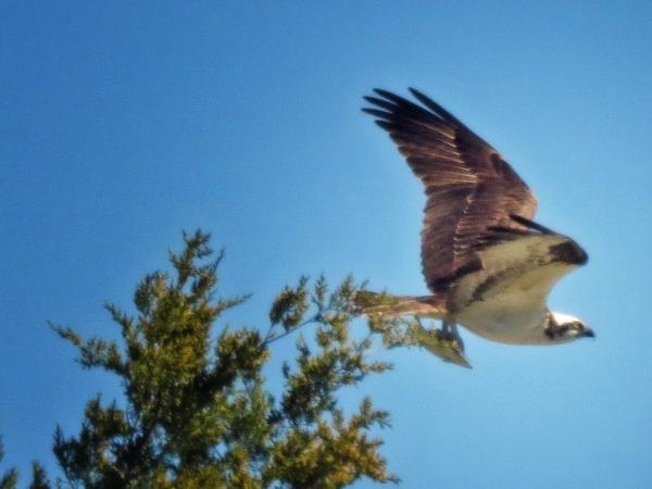 osprey flying away w fish