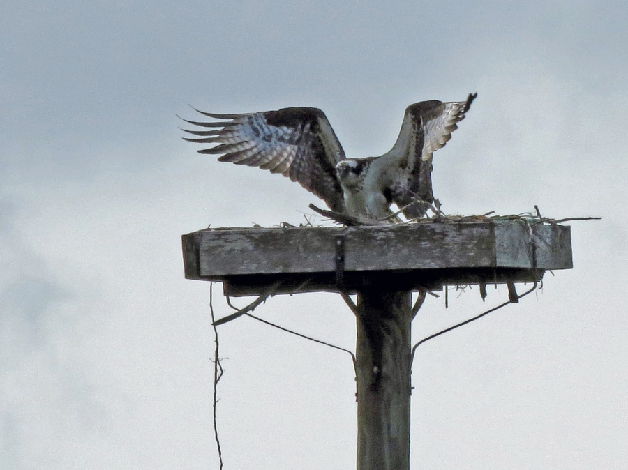 papa osprey lands in the nest new year 2015