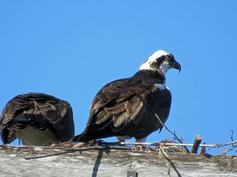 Papa protects the nest while Mama finishes her lunch.