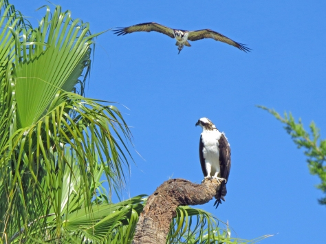 papa osprey with fish and stanley looking on