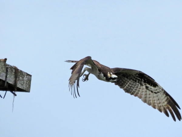 papa stanley flies away