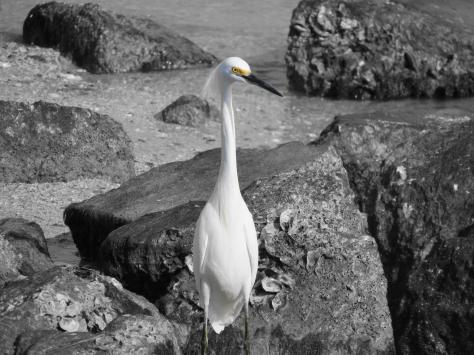 snowy egret hoc