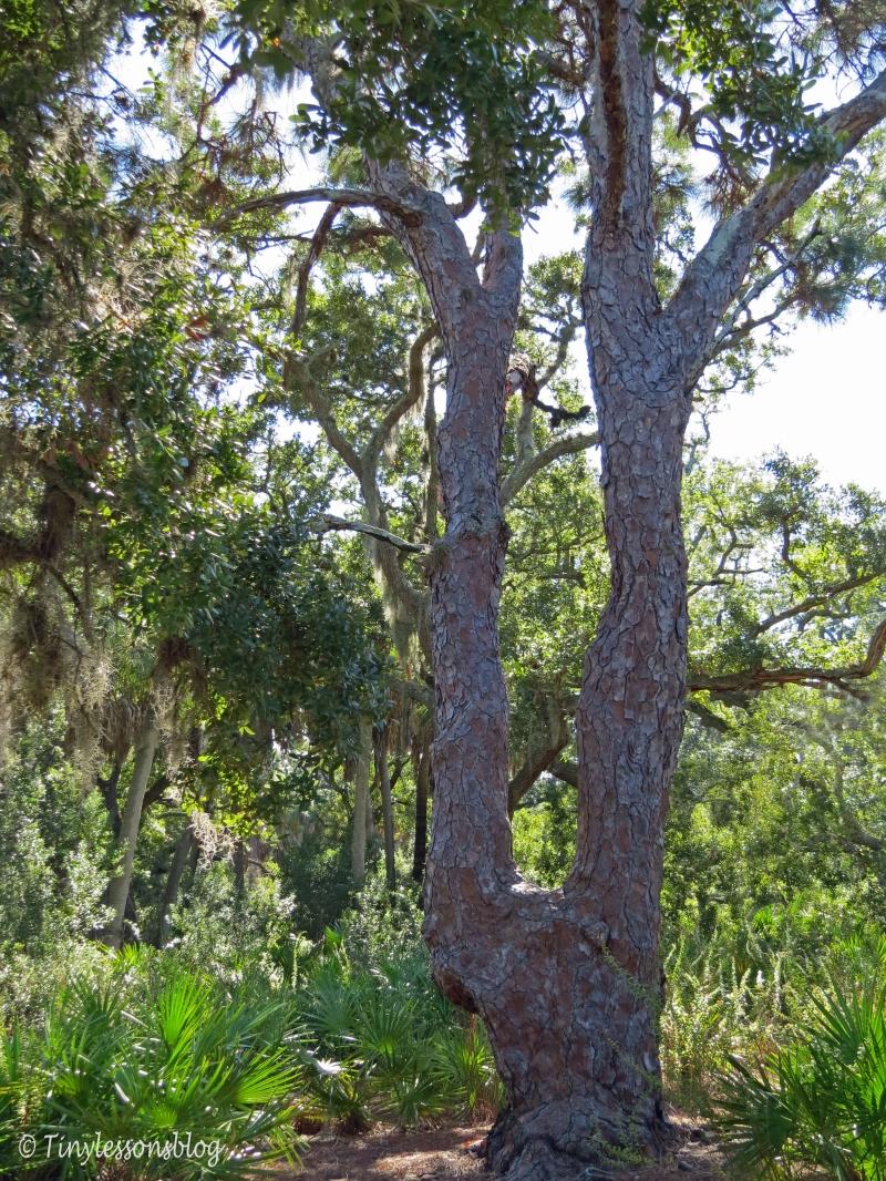 "Caladesi Island The famous ""Harp Tree"""