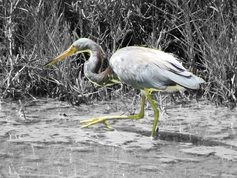 tricolored heron hoc