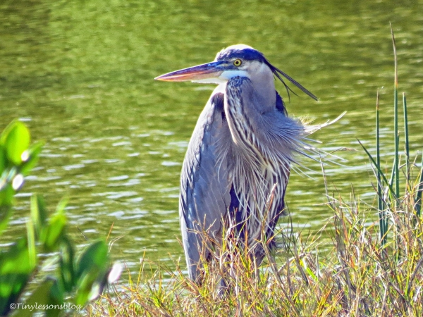great blue heron with long plumes