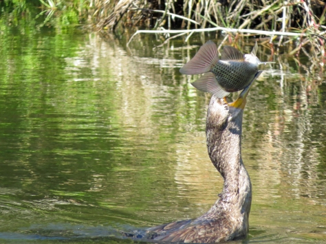 double crested cormorant caught a fish 4