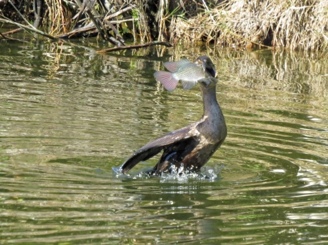 double crested cormorant caught a fish 5