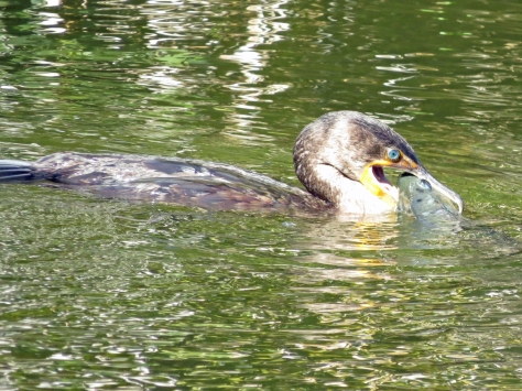 double crested cormorant caught a fish 8