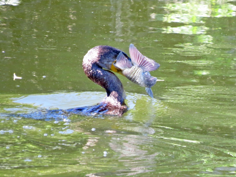 double crested cormorant caught a fish1