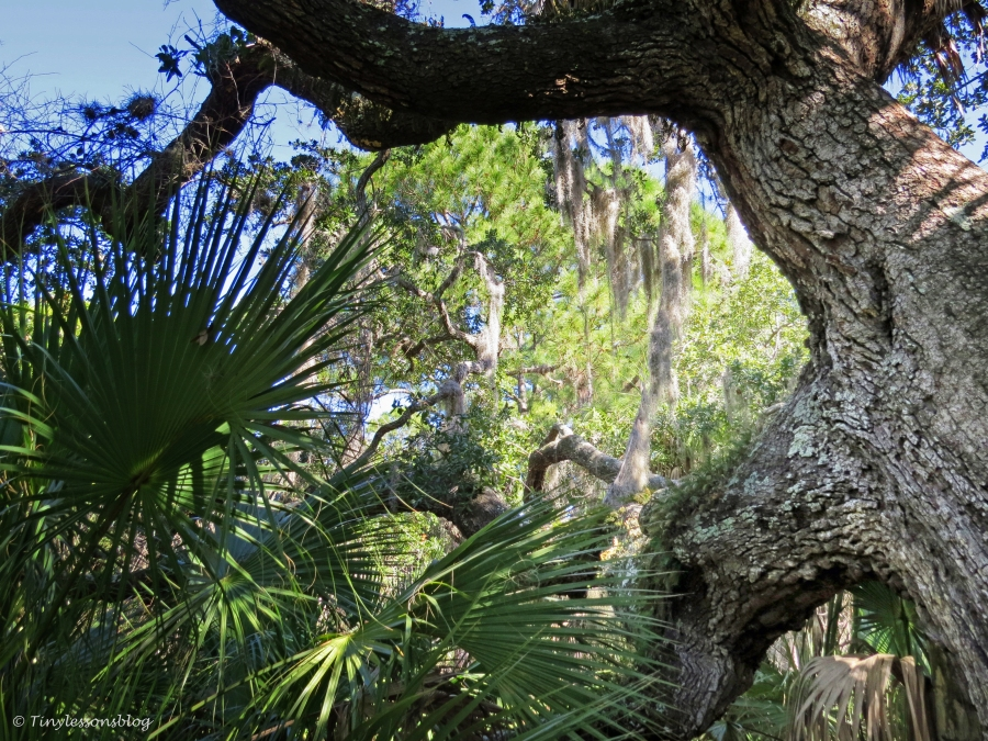 A huge oak tree on the nature trail