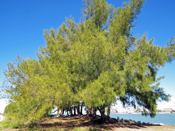 large trees in Sand key park at clearwater pass