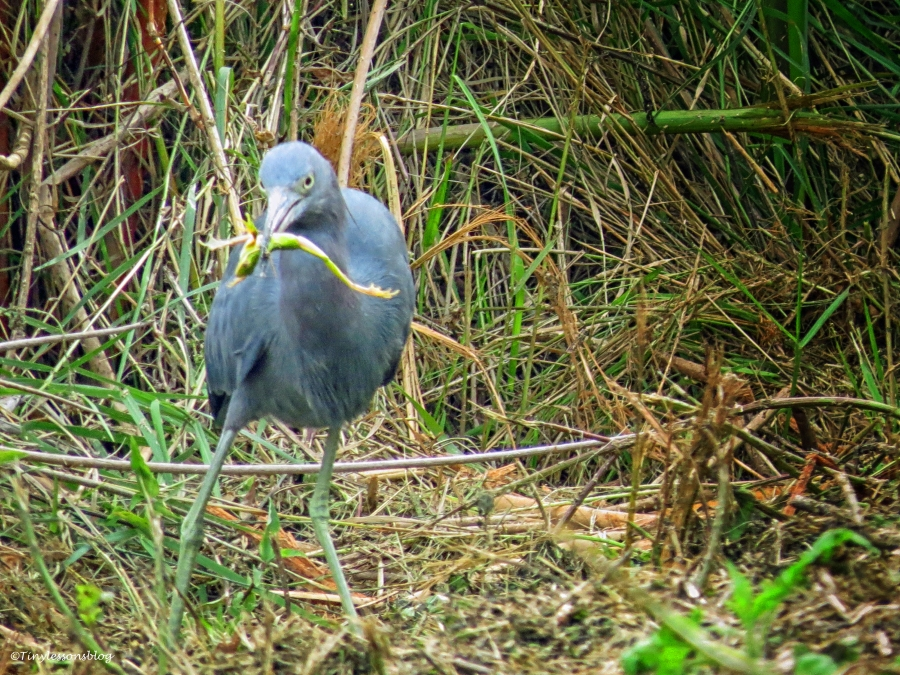Little Blue Heron caught a frog...Snad Key Park clearwater florida
