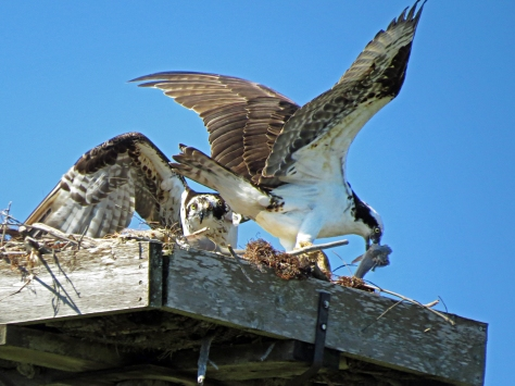 female and male osprey share a fish clearwater fl