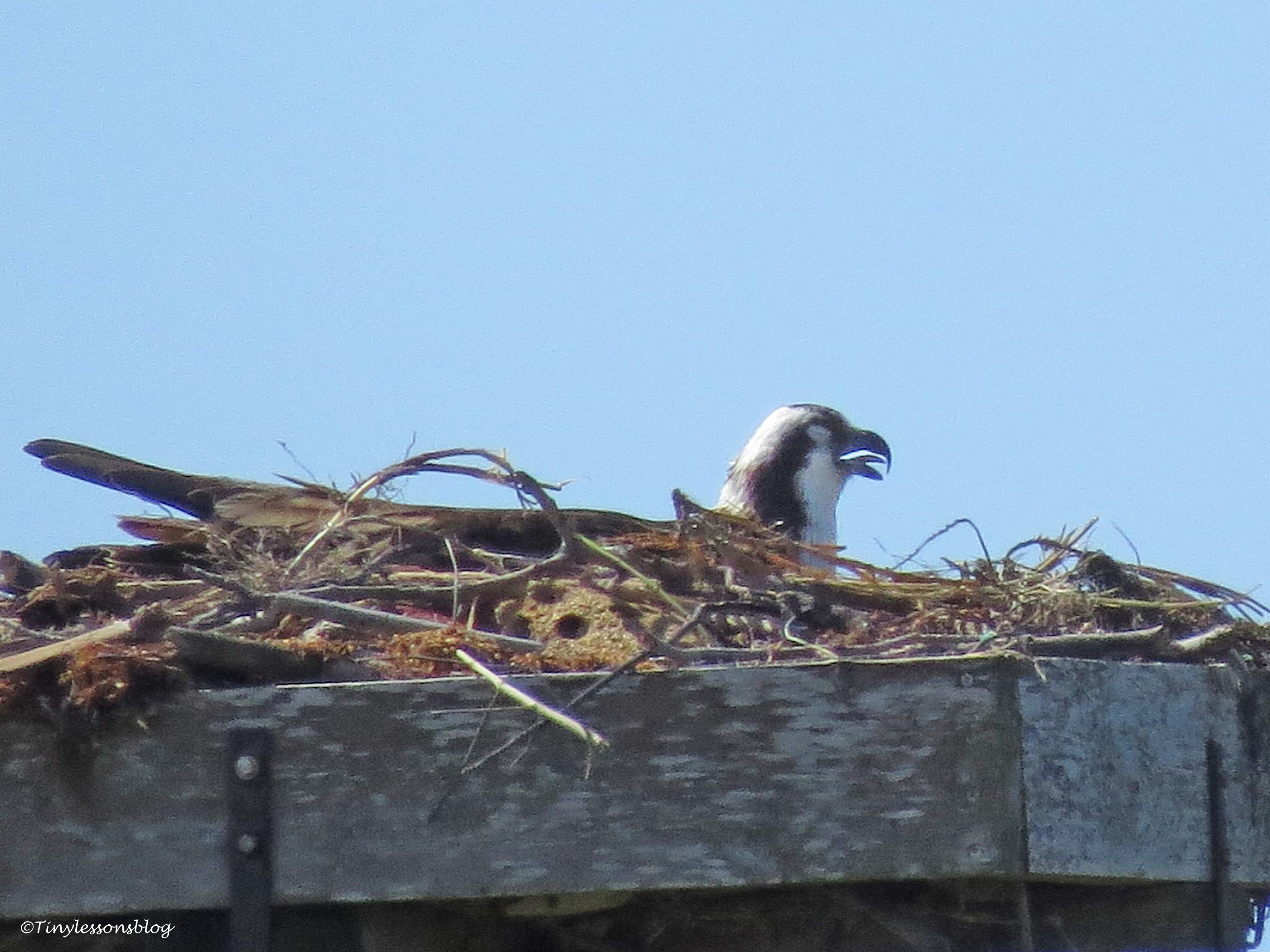 Mama Osprey sits on the egg(s) and cools herself...