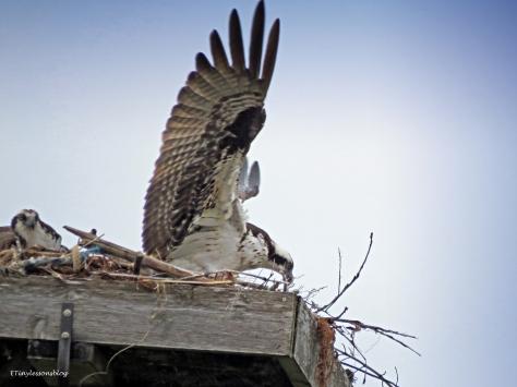 opsprey brings in nest materials materials