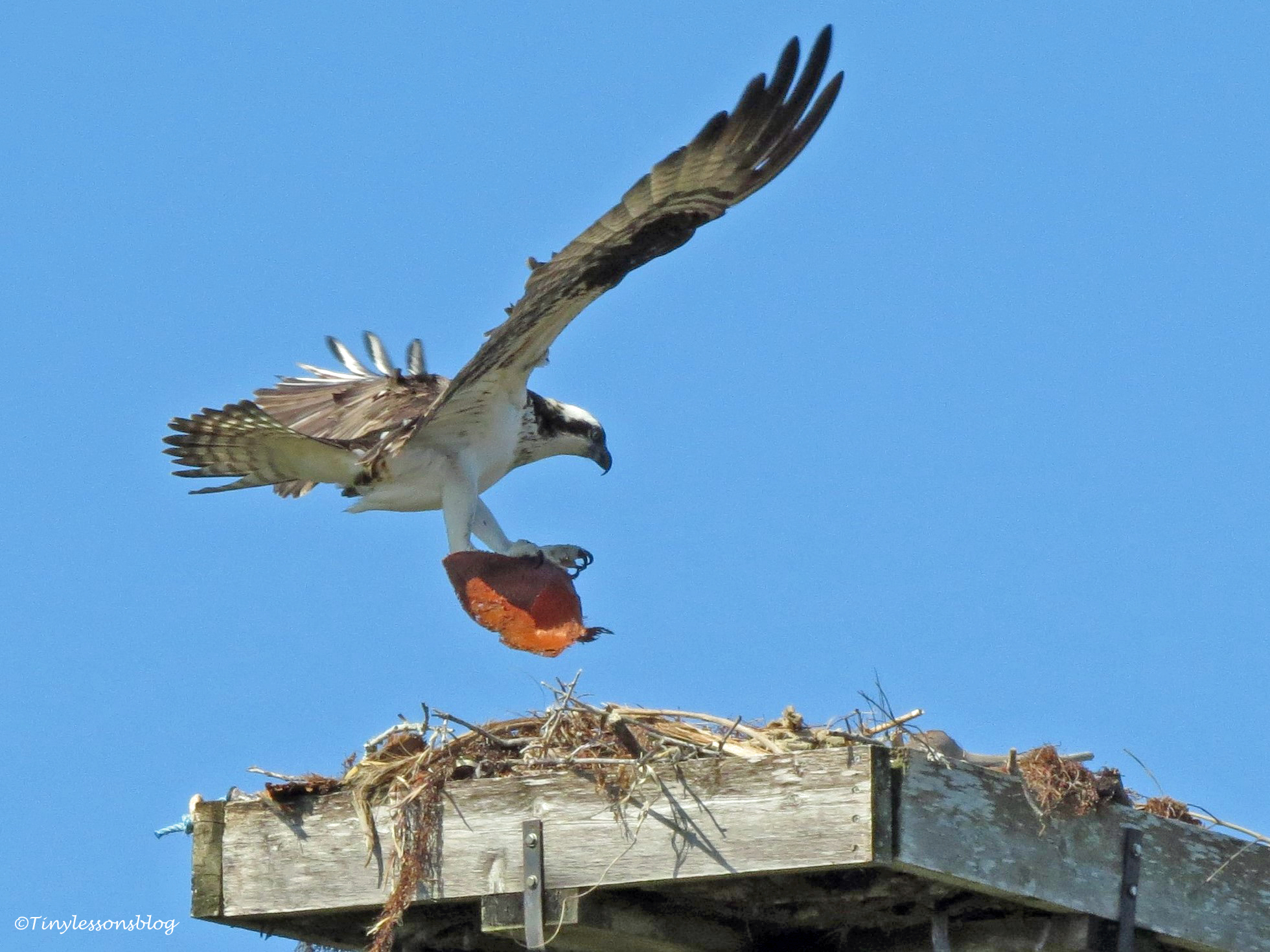 mama osprey gets materials A