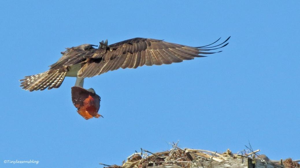 mama osprey gets nursery material by tiny 16x9
