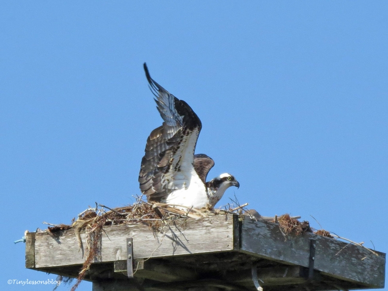 mama osprey goes shopping A