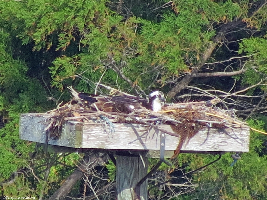 mama osprey incubating the eggs by tiny