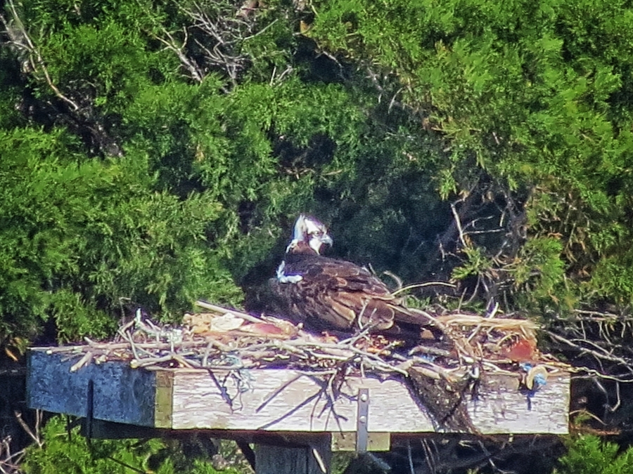 female osprey sitting on the eggs sand key clearwater