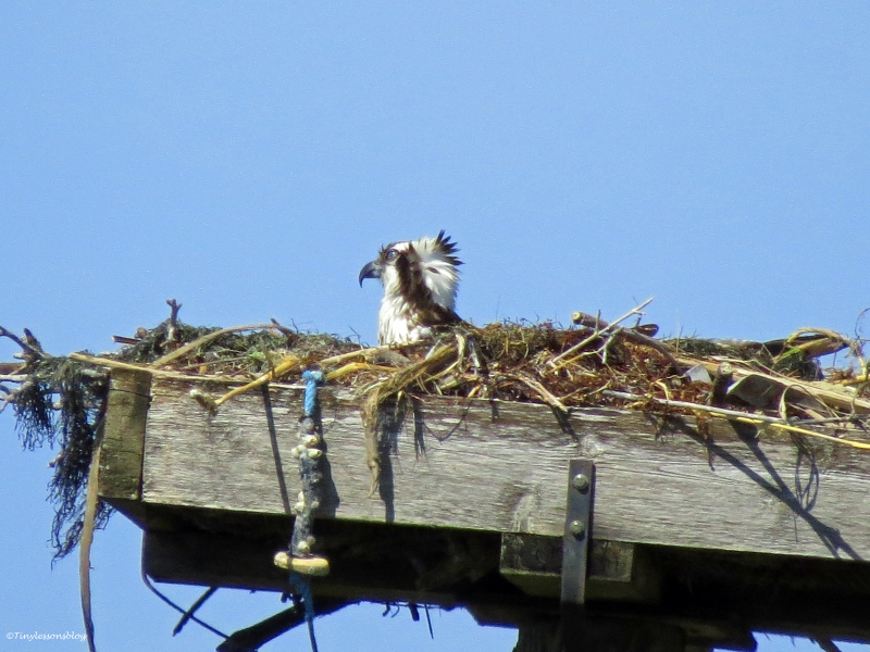 female osprey sitting on the eggs