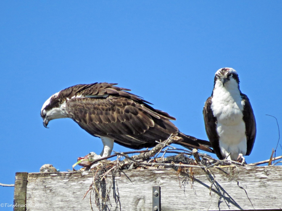 female osprey with fish dozing off by tiny