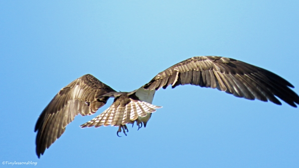 male osprey scans for fish
