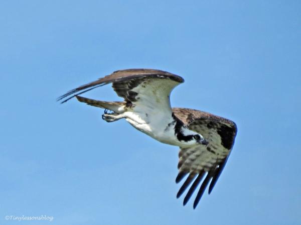 osprey flies away by tiny