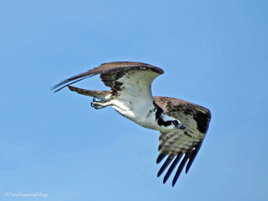 osprey flies away by tiny