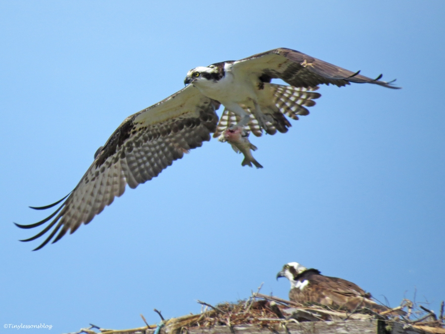osprey flies away with the fish