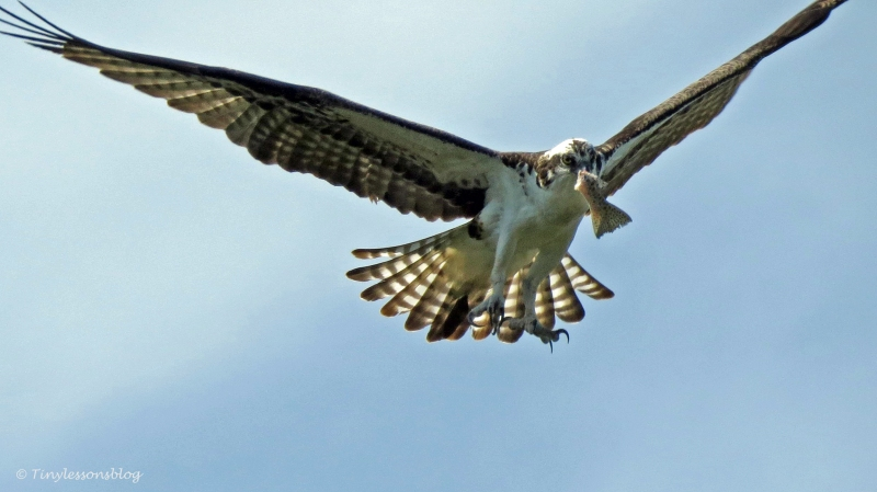 papa osprey flies away with the rest of the fish by tiny